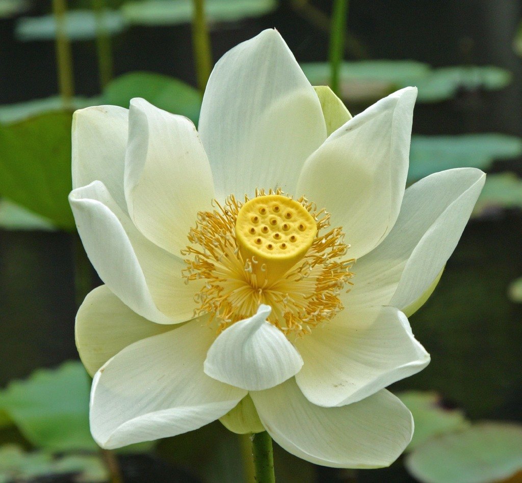 White Lotus Flower In Mauritius Puzzle En Fleurs Puzzles Sur