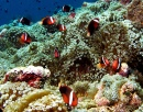 Anemonefish Colony