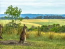 The Thinking Kangaroo, Great Ocean Road