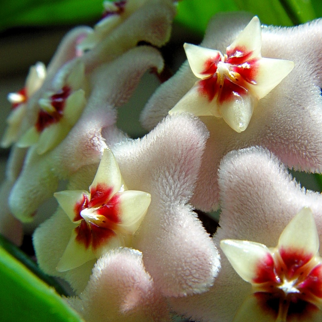 Hoya Plant Flowers Jigsaw Puzzle In Flowers Puzzles On