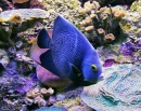Speckled Angelfish