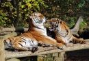 Tigers at Play, Dudley Zoo