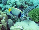 Emperor Angelfish, Red Sea, Egypt