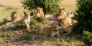 Lions Having a Sunbath