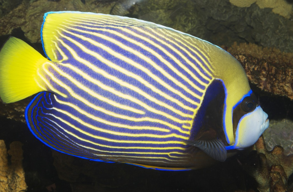 emperor angelfish changing - photo #26