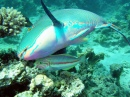 Parrotfish with Klunzinger's Wrasse