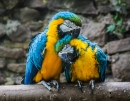 Macaws Mating