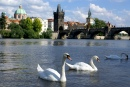 Swans and the Charles Bridge, Prague