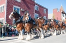 25 Clydesdales in South Boston Parade