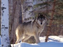 Wolf Spotted on the Biosphere Expedition