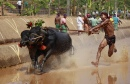 Traditional Indian Buffalo Race