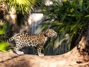 Young Jaguar