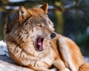 Wolf Yawning on the Sun