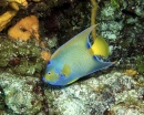 Columbia Deep - Queen Angelfish