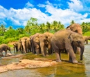 Elephant Group in the Water, Sri Lanka