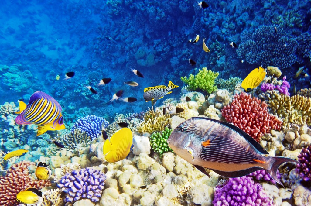 Coral and fish red sea egypt jigsaw puzzle in under the for Red sea fish