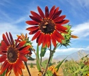 Red Sunflowers at the Pumpkin Patch