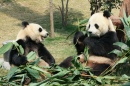 Two Giant Pandas Eating