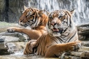 Tigers Taking a Bath