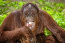 Portrait of Laughing Orangutan