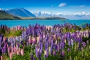 Mountain Lake with Lupins Blooming