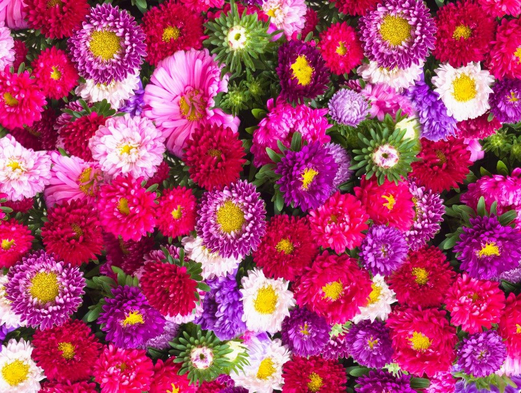 Red Pink And Violet Aster Flowers Jigsaw Puzzle In Flowers Puzzles