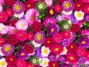 Red, Pink and Violet Aster Flowers
