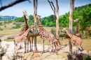 Feeding Time For Giraffes