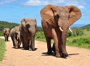 Herd of African Elephants Walking