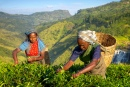 Tea Pickers In Plantage, Sri Lanka