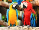 Colorful Couple Macaws