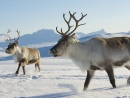 Reindeers in the Northern Norway