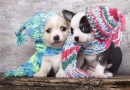 Puppies Wearing Knit Hats