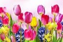 Tulips, Daffodils and Hyacinths