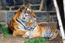 5 Month Old Tiger Cub with Mom