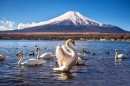White Swan in the Yamanaka Lake, Japan
