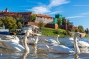 Swans near Wawel Castle, Poland