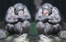 Chimpanzees Having Fun