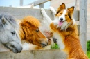 Pony and Border Collie