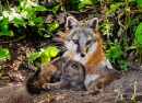 Grey Fox Vixen and Kit