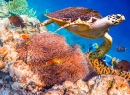 Hawksbill Turtle over Coral Reef
