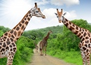 Giraffes in Kruger Park, South Africa