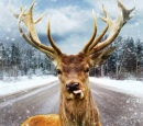 Deer on a Winter Country Road