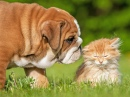 English Bulldog and a Little Kitten