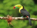 Keel-Billed Toucan Bird
