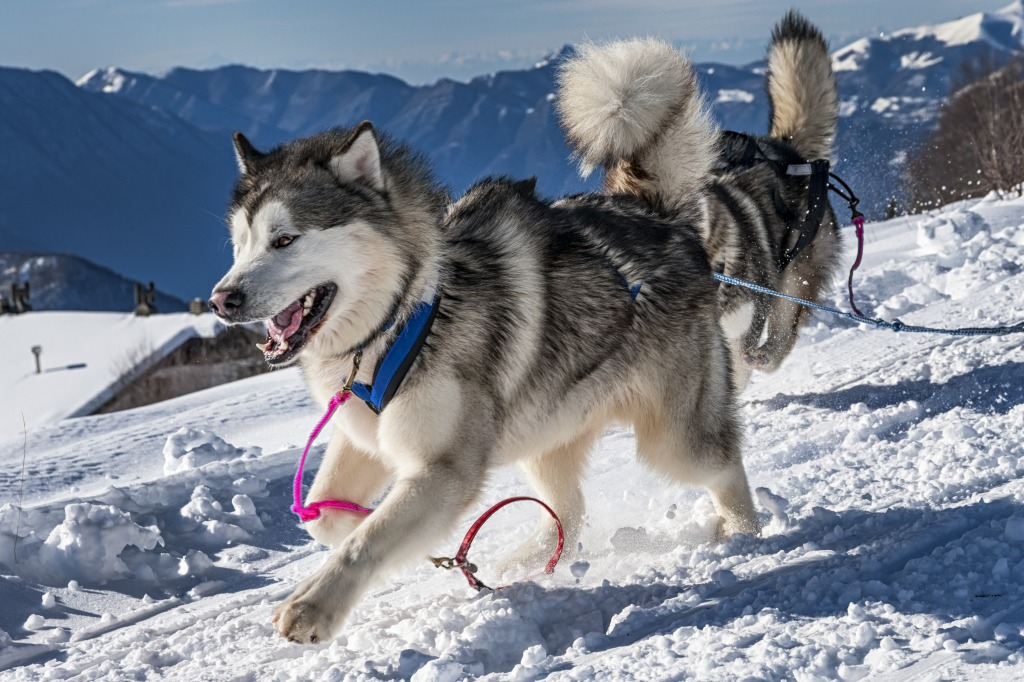 Alaskan Malamute jigsaw puzzle in Animals puzzles on ...
