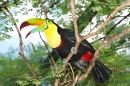 Toucan in a Tropical Rainforest