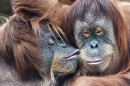 Tenderness Among Orangutan