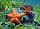 Common Comet Star & Cushion Sea Star