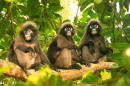 Spectacled Langurs, Wua Talap Island, Thailand